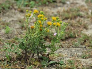 Duinkruiskruid - Jacobaea vulgaris subsp. dunensis