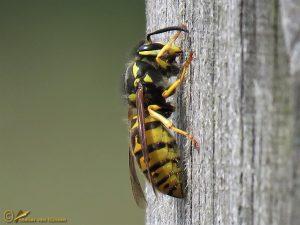 Duitse wesp - Vespula germanica