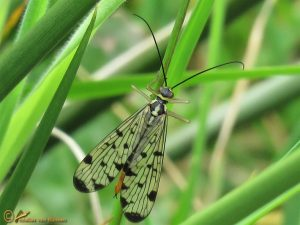 Duitse schorpioenvlieg - Panorpa germanica