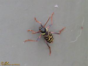 Dwarsvlek-wespenboktor – Xylotrechus arvicola