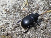 Echte mestkevers (Geotrupidae)