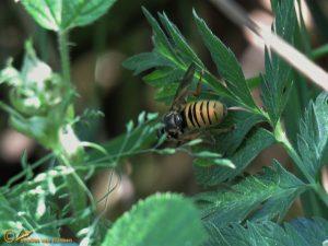 Echte wespvlieg - Temnostoma vespiforme
