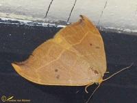Eenstaartjes (Drepanidae)