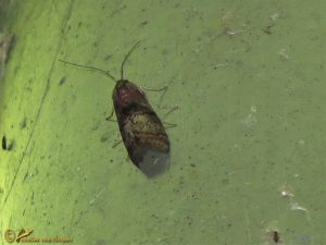 Eikenlichtmot - Phycita roborella