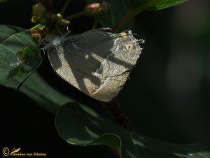 Eikenpage - Favonius quercus