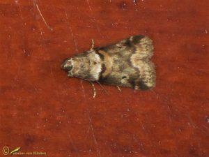 Eikentopspinselmot - Acrobasis consociella