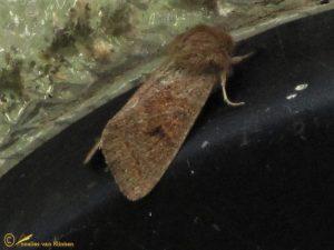 Eikenvoorjaarsuil - Orthosia miniosa