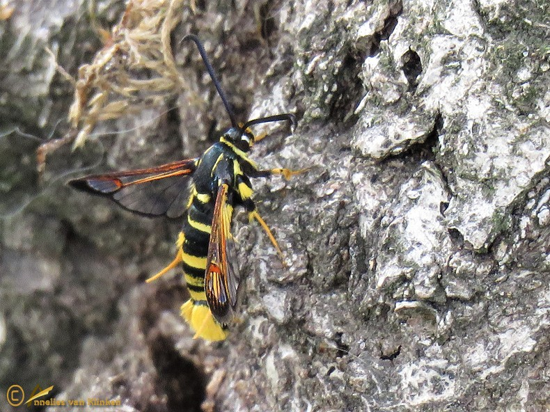 Eikenwespvlinder - Synanthedon vespiformis