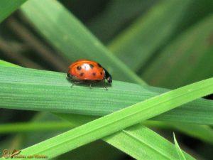 Elfstippelig Lieveheersbeestje – Coccinella undecimpunctata