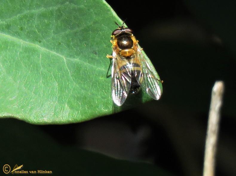 Enkele-bandzweefvlieg - Epistrophe eligans