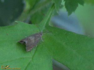 Erwtenbladroller - Cydia nigricana
