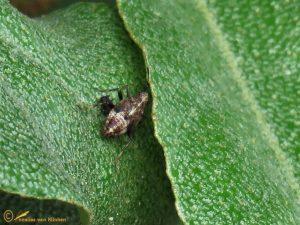 Esdoornhalsbandwants - Deraeocoris flavilinea
