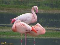 flamingos-phoenicopteridae