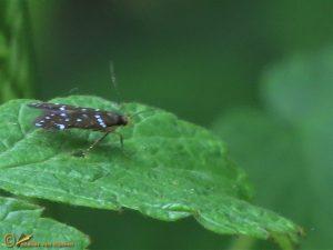 Frambozenpalpmot – Argolamprotes micella