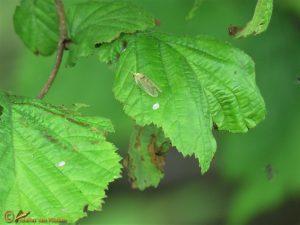 Gaasvlieg onbekend - Chrysopidae indet.
