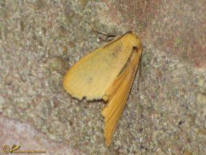 Geel beertje - Eilema sororcula