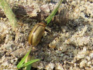 Geel wilgenhaantje - Lochmaea caprea