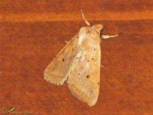 Geelbruine herfstuil - Agrochola macilenta