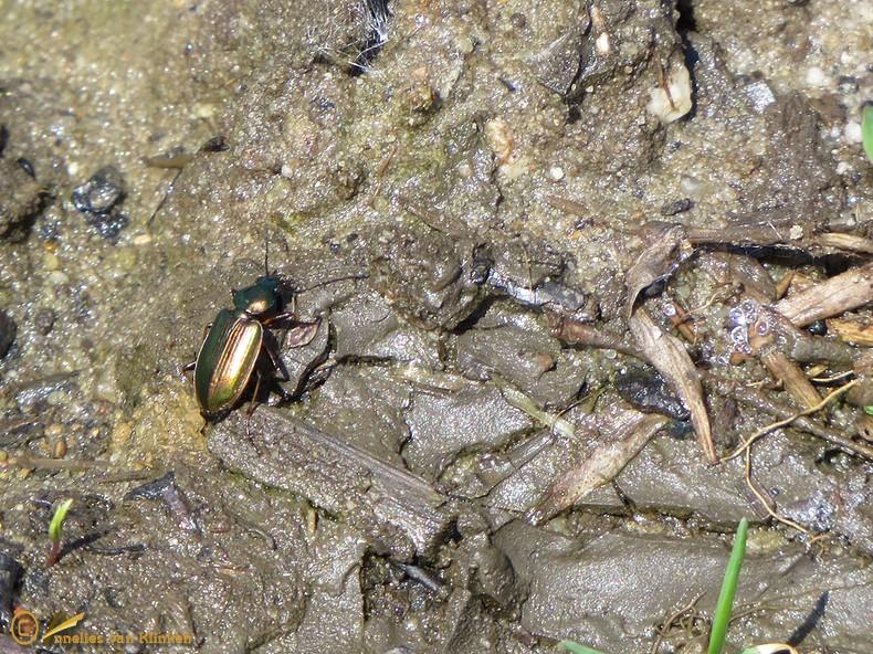 Geelgerande moerasloopkever - Agonum marginatum