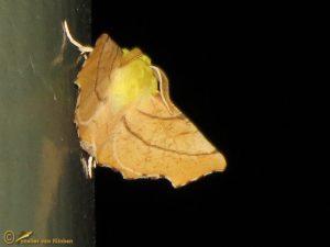 Geelschouderspanner - Ennomos alniaria