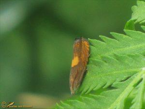 Geelvlekwortelmot – Dichrorampha flavidorsana