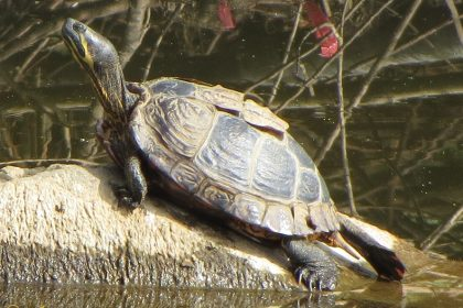 Geelwangschildpad - Trachemys scripta troostii