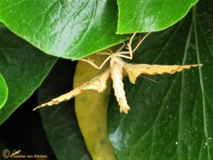 Gele agaatspanner - Gandaritis pyraliata