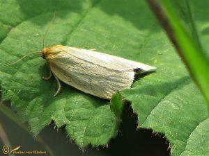 Gele bladroller - Aphelia paleana
