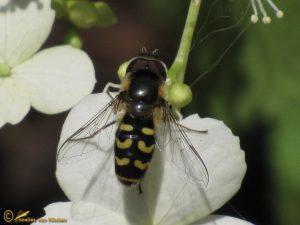 Gele halvemaanzweefvlieg - Scaeva selenitica