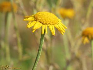 Gele kamille - Anthemis tinctoria