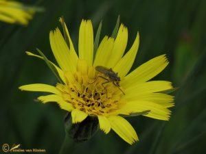 Gele morgenster s.s. - Tragopogon pratensis subsp. pratensis