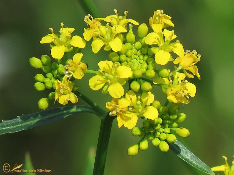 Gele waterkers - Rorippa amphibia