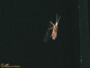 Gelijnde spitskopmot - Ypsolopha scabrella