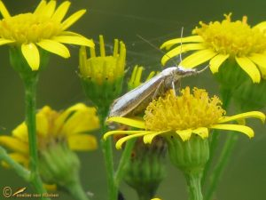 Gelijnde vlakjesmot - Catoptria margaritella