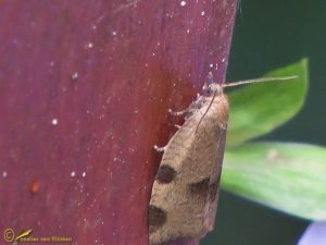 Gemarmerde drievlekbladroller - Lozotaenia forsterana