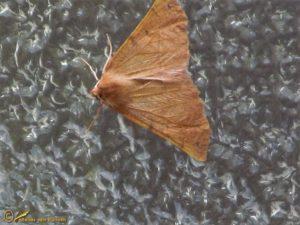 Gepluimde spanner - Colotois pennaria
