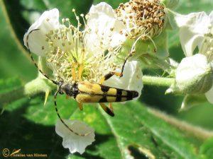 Geringelde smalboktor - Rutpela maculata