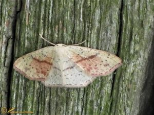Gestippelde oogspanner - Cyclophora punctaria