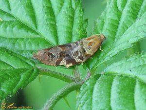 Gevlamde bladroller - Archips xylosteana