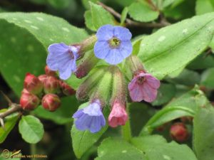 Gevlekt longkruid – Pulmonaria officinalis
