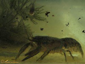 Gevlekte Amerikaanse Rivierkreeft – Faxonius limosus