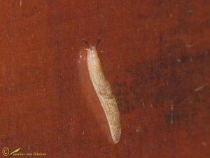 Gevlekte akkerslak - Deroceras reticulatum