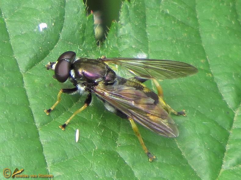 Gevlekte gouden bladloper - Xylota xanthocnema