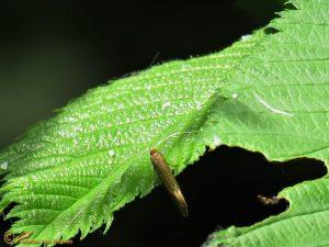 Gevlekte langsprietmot - Nematopogon adansoniella