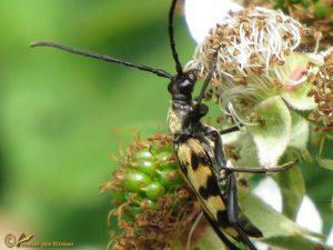 Gevlekte smalboktor - Leptura quadrifasciata