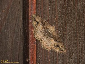 Gevlekte spikkelspanner - Alcis bastelbergeri (