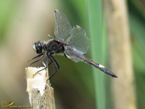 Gevlekte witsnuitlibel – Leucorrhinia pectoralis ♂️