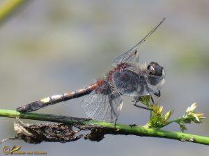 Gevlekte witsnuitlibel – Leucorrhinia pectoralis