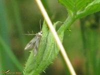 Gevorkte Motten (Schreckensteiniidae)