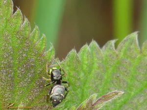 Gewone Blinker - Heliophanus flavipes
